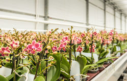 Rows of colorful mature orchid plants ready for transport Royalty Free Stock Photos