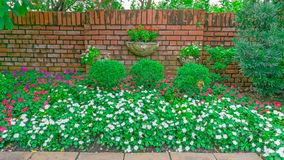 Colorful flowering plant in English cottage garden, white and red West Indian periwinkle blossom on green leaves royalty free stock photo