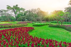 Colorful flowering plant on green grass lawn with group of trees in a good care maintenance garden, under sunshine and white sky. In the morning royalty free stock images