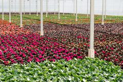Colorful flowering plants in a specialized nursery of garden pla. Colorful blooming small plants in a Dutch greenhouse nursery specialized in the cultivation of Royalty Free Stock Photos