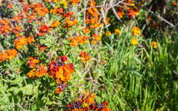 Colorful flowering Wallflower plants in springtime. Closeup of sweet-smelling orange wall flowers or Erysimum cheiri in the spring season Stock Images