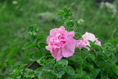 Colorful flowering wild rose Rosa canina . pink rose with green leaves. Garden flowers. colorful flowering wild rose Rosa canina . pink rose with green leaves stock photos
