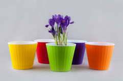 Colorful flowerpots and crocus Stock Images