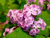 Colorful flowers. Colorful blossom flowers after rain with water drops on the petals and leaves Stock Photos
