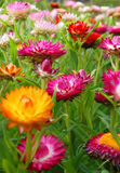 Colorful flowers. Beautiful and colorful flowers in a garden royalty free stock photography