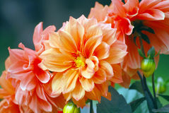 Colorful flowers. Brightly colored orange and pink flowers stock photo