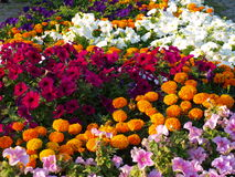 Colorful flowers. Colorful flower bed with lots of bright flowering plants stock image