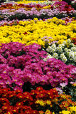 Colorful flowers,. In the spring Festival flower fair,Colorful flowers Royalty Free Stock Photo