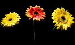 Colorful flowers. On black background Stock Image