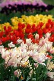 Colorful flowers. Field of colorful tulip flowers in spring Royalty Free Stock Image
