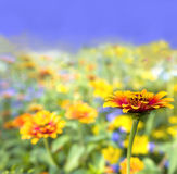Colorful flowers. Beautiful meadow with colorful flowers Stock Photos