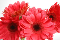 Colorful flowers. Close-up daisy royalty free stock photography
