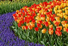 Colorful flowers. Keukenhof gardens in the Netherlands, a flower exhibition Royalty Free Stock Photo