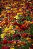 Colorful Flowers in Spring for Background or Pattern Royalty Free Stock Images
