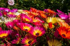 Colorful flowers in Akureyri botanic garden. On a summer day royalty free stock images