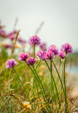 Colorful flowers in the archipelago of Bohuslän on the west coast of Sweden. Stock Photos