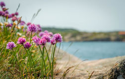 Colorful flowers in the archipelago of Bohuslän on the west coast of Sweden. Royalty Free Stock Images