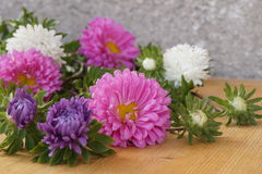 Colorful flowers - Asters. Callistephus chinensis Stock Photos