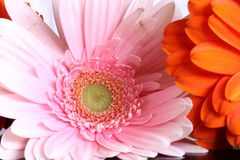 Colorful flowers. Beauty times two Royalty Free Stock Photography