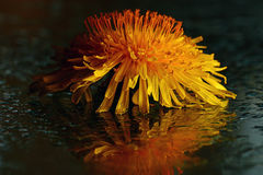 Colorful flowers on black background reflection Royalty Free Stock Photos