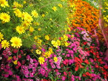 Colorful flowers in bloom. Background of colorful flowers in bloom Stock Photography