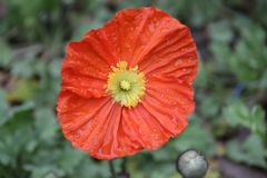 Orange Poppy Flower Meadow in Summer. Colorful Flowers are Blooming all over the Park in Spring stock image