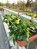 Flowers on a bridge in Timisoara over the Bega river. royalty free stock photography