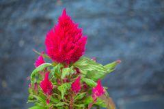 Colorful flowers Celosia plumosa against the gray stone. Royalty Free Stock Image