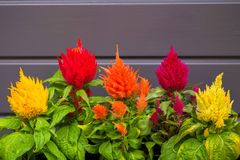 Colorful flowers Celosia plumosa against the gray wall. Royalty Free Stock Images