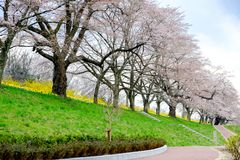 Colorful flowers and cherry trees in the park along Shiroishi river banks in Miyagi,Tohoku,Japan in spring. Shiroishigawa riverShiroishi River runs through stock photography