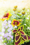 Colorful flowers with Coleus and blanketflower in garden Royalty Free Stock Photography