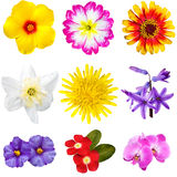 Colorful Flowers Cutouts. Selection of various flowers isolated on white background: yellow hibiscus, pink primula, Zinnia Aster, narcisus, dandelion, blue Royalty Free Stock Photo