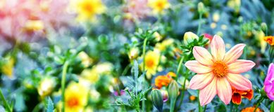 flowers dahlia on the background of the summer landscape royalty free stock photography