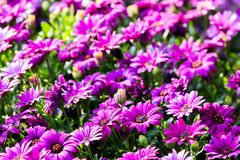 Colorful flowers in depth of field. Colorful flowers in depth of field Royalty Free Stock Photography