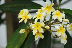 Colorful flowers with drops of water after rain. Colorful flowers in nature.Colorful flowers with drops of water after rain.Plumeria Flower. white flower.yellow royalty free stock photos