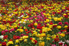 Colorful  flowers. In the field Stock Photography