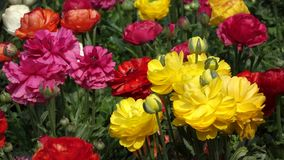 Colorful  flowers stock video footage