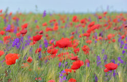 Colorful flowers on field Royalty Free Stock Photography