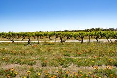 Colorful flowers in front of grapevines, Barossa Valley Stock Photography