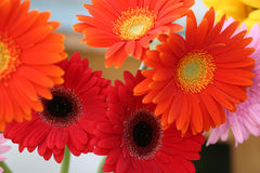 Colorful flowers of gerbera. stock photography