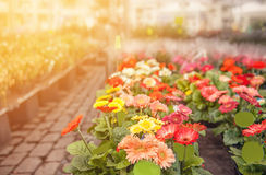 Colorful flowers gerberas in the market on the street on a Sunny day. The horizontal frame. Colorful flowers gerberas in the market on the street on a Sunny day Royalty Free Stock Images