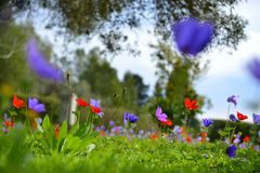 Colorful flowers in the green grass. Purple pink and red flowers in the green grass under the trees stock images