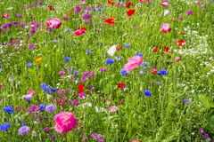 Colorful flowers in the green meadow. Colorful flowers with pink poppy in the green meadow Stock Photos
