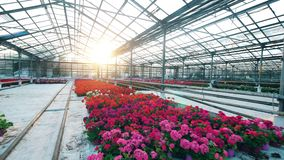 Colorful flowers grow in pots in a greenhouse. 4K stock video footage