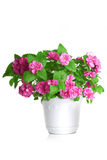 Colorful flowers growing in a pot Stock Photos