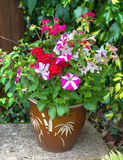 Colorful Flowers In A Pot; Petunia; Geranium; Nicotiana. Stock Photography
