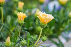Colorful Flowers of Japan. Different kind of colorful japanese flowers with soft background, arranged stock photography