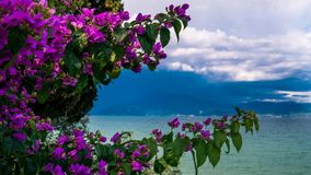 Colorful flowers by the lake. Colorful violet flowers by the lake with a mountain on a second plan. Garda lake in Italy stock photography