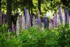Colorful flowers of lupine in full blossom near a forest Royalty Free Stock Images
