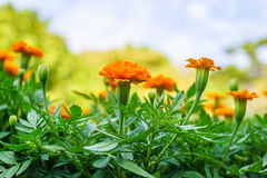 Colorful flowers marigold against the background of the s Stock Photo